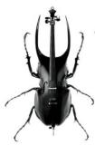 insecte violoncelle